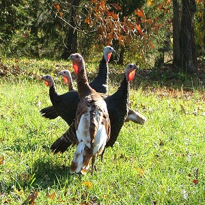 Wild Turkey Recipes
